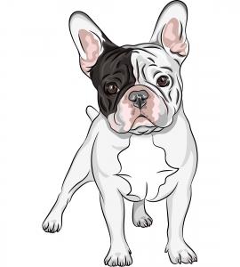 Mittelgroße Hunderasse - Französische Bulldogge
