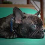 Liegende Französische Bulldogge