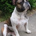 Französische Bulldogge genießt das Wetter