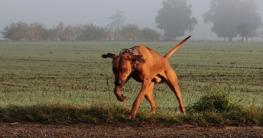 Hund läuft davon