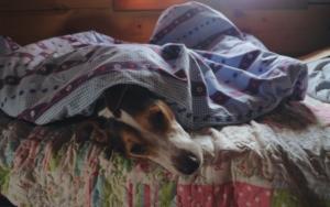 Hund schläft unter einer Decke